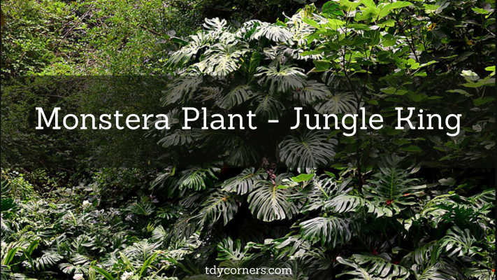 TDy Corners Monstera plant a jungle king