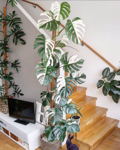TDy-Corners-Variegated-Monstera-Deliciosa