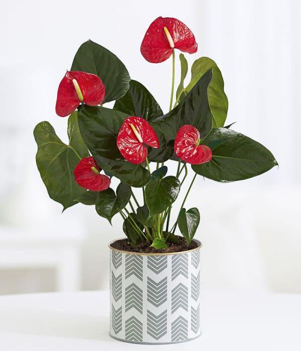 TDy-Corners-indoor-Anthurium-plants