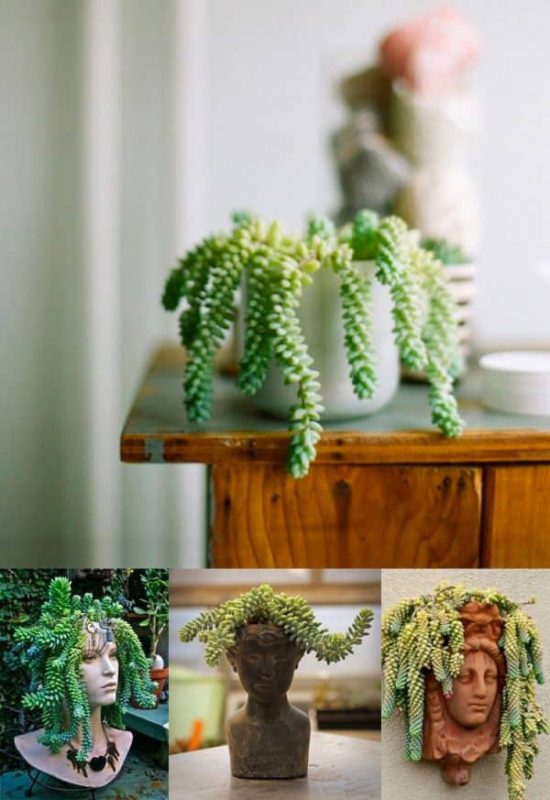 TDy-Corners-indoor-Donkey-tail-plant