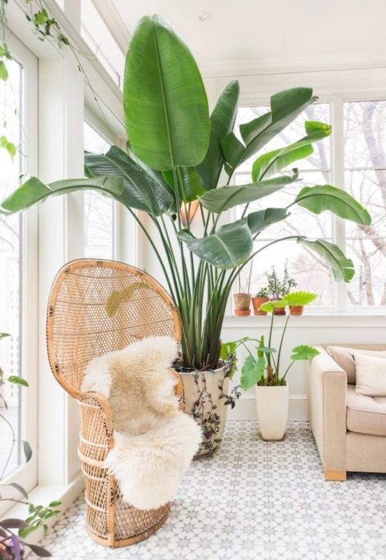 TDy-Corners-indoor-Giant-White-Bird-Of-Paradise-plant