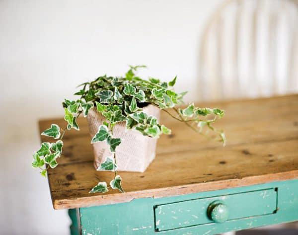 TDy-Corners-indoor-Ivy-plants