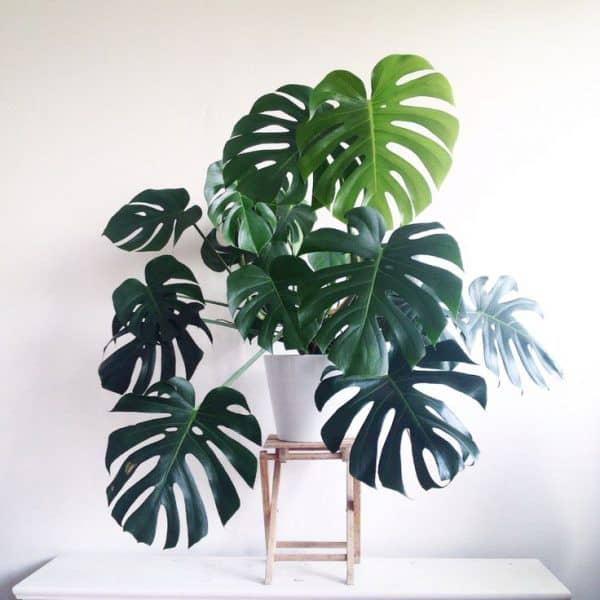 TDy-Corners-indoor-Monstera-deliciosa-plant