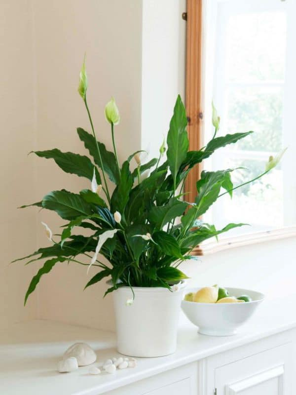 TDy-Corners-indoor-Peace-lily-plant