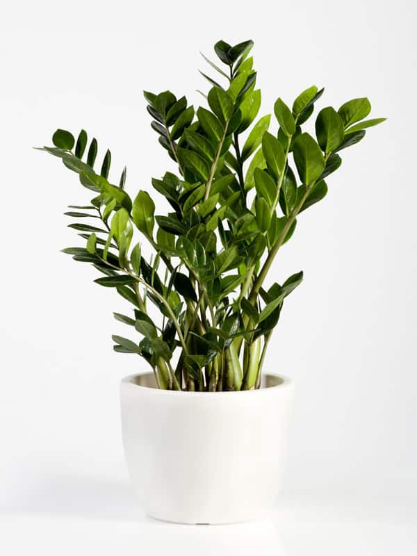 TDy-Corners-indoor-Zamioculcas-zamiifolia-plant