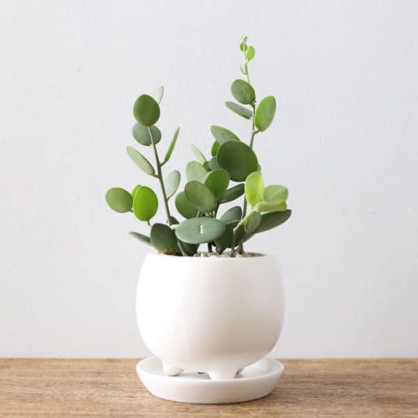 TDy-Corners-indoor-plant-Silver-Dollar-Vine