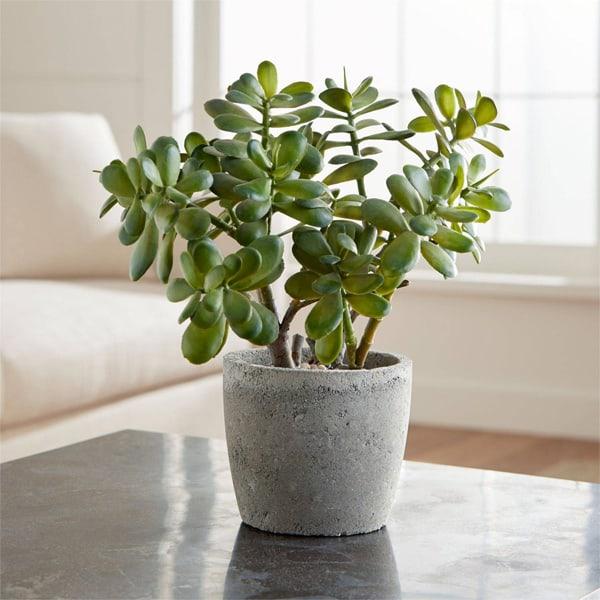 TDy-Corners-indoor-plant-jade